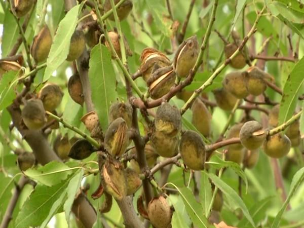 Almonds grown in Budgam district of Jammu and Kashmir. [Photo/ANI]