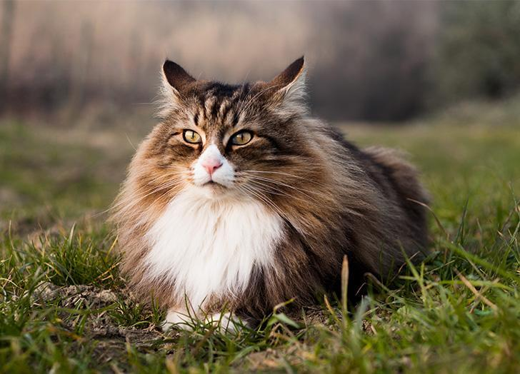 Large Cat Breeds for a Pet