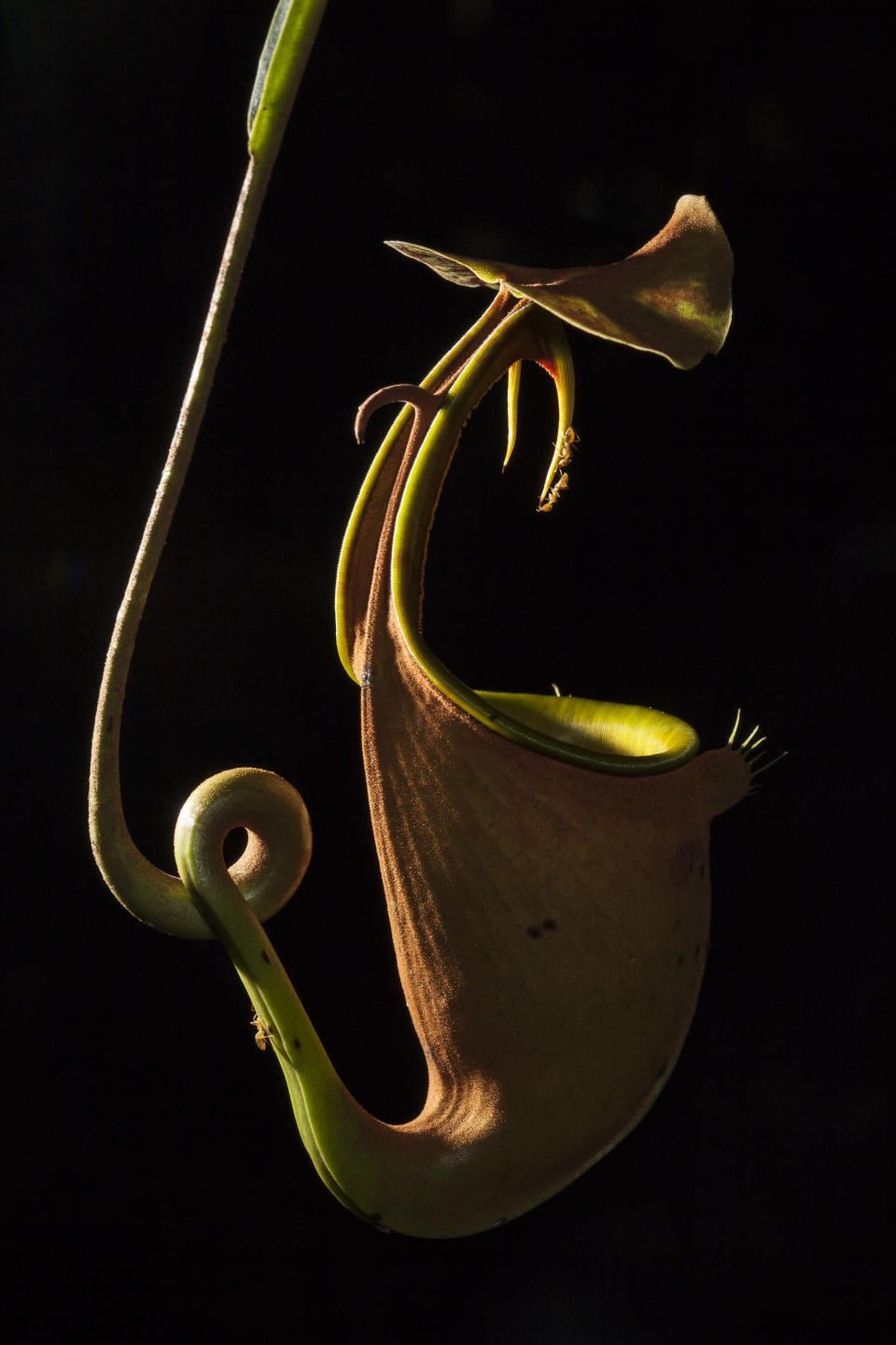 <p>Pitcher plants are carnivorous plants, which draw nutrients from trapped and digested insects. The species shown here (Nepenthes bicalcarata) secretes sweet nectar on the rim and fang-like structures, which are very slippery for most insects except for one specialised ant (Camponotus schmitzii). The ants live in the curled hollow tendrils of the plant and manage to climb in and out of the pitcher without any difficulties to steal a bit of nectar, as shown here. This image was named as runner up in the Ecology and Environmental Science category. (PA) </p>