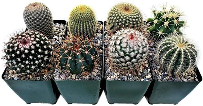 """<h2>Fat Plants San Diego Large Cactus Plants <br></h2><br><strong>The Hype:</strong> 4.7 out of 5 stars and 155 reviews<br><br><strong>Plant Parents Say:</strong> """"STUNNING! This has by far been one of my favorite purchases! Amazing quality of cactus' and some really neat ones you won't find at your local garden center!""""<br><br><em>Shop</em> <strong><em><a href=""""https://amzn.to/3p3u11S"""" rel=""""nofollow noopener"""" target=""""_blank"""" data-ylk=""""slk:Fat Plants San Diego"""" class=""""link rapid-noclick-resp"""">Fat Plants San Diego</a></em></strong><br><br><strong>Fat Plants San Diego</strong> Cactus Plants, $, available at <a href=""""https://amzn.to/37S0bHM"""" rel=""""nofollow noopener"""" target=""""_blank"""" data-ylk=""""slk:Amazon"""" class=""""link rapid-noclick-resp"""">Amazon</a>"""
