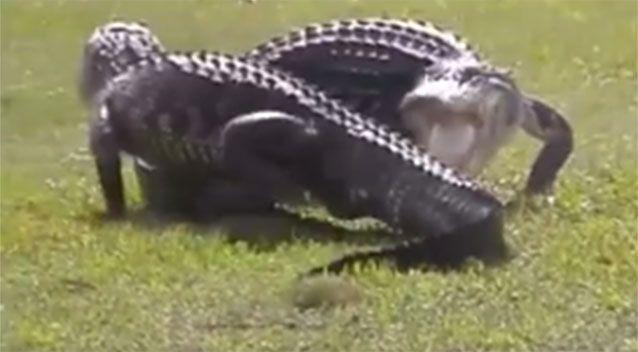 Two gators duel at a golf course in Florida. Source: Facebook/ City of Sarasota