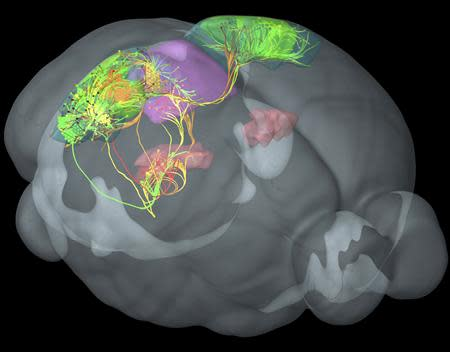 Connections between four distinct visual areas in the mouse cortex (green, yellow, red, orange) are visualized in 3-D using Allen Institute Brain Explorer software in this handout image. These cortical areas are highly interconnected with each other and with additional areas involved in vision in the thalamus (pink) and midbrain (purple). Scientists on April 2, 2014 unveiled the mouse connectome – a map showing the connections that neurons make through the mouse brain as they process information. REUTERS/Allen Institute for Brain Science/Handout