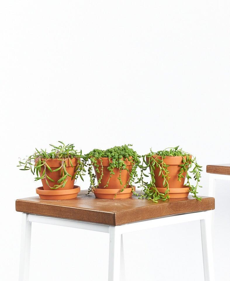 """<h3><h2>String Of Succulents Trio</h2></h3><br><strong>Why She'll Love It</strong><br>For moms who like to mix it up: a unique collection of three string-variety succulents planted in matching terracotta pots.<br><br><strong>Care</strong><br>This eye-catching trio requires a mix of bright indirect to full direct sunlight with limited watering whenever the soil is completely dry.<br><br><em>Shop</em><strong><em> <a href=""""https://bloomscape.com/shop/"""" rel=""""nofollow noopener"""" target=""""_blank"""" data-ylk=""""slk:Bloomscape"""" class=""""link rapid-noclick-resp"""">Bloomscape</a></em></strong><br><br><strong>Bloomscape</strong> String of Succulents Collection, $, available at <a href=""""https://go.skimresources.com/?id=30283X879131&url=https%3A%2F%2Fbloomscape.com%2Fproduct%2Fstring-of-succulents-collection%2F"""" rel=""""nofollow noopener"""" target=""""_blank"""" data-ylk=""""slk:Bloomscape"""" class=""""link rapid-noclick-resp"""">Bloomscape</a>"""