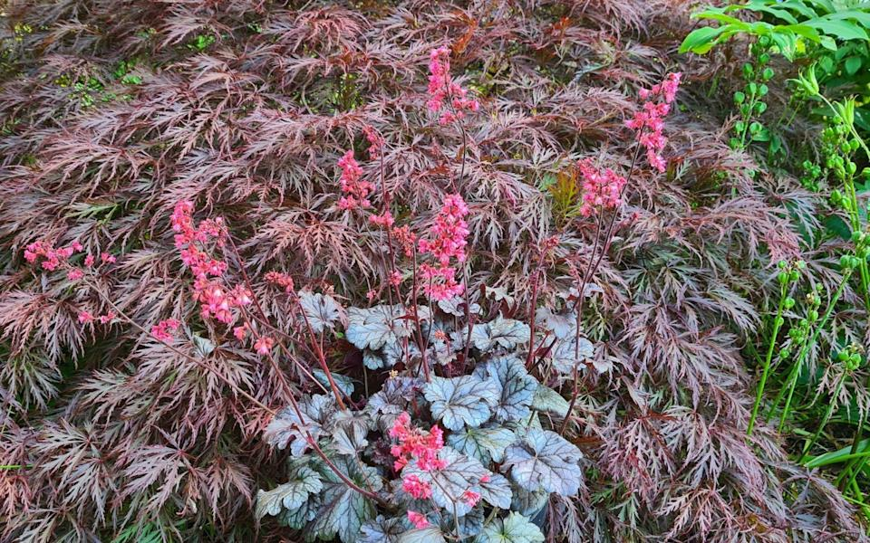 'Timeless Treasure' combines silver-toned dark foliage and substantial strawberry pink bells on strong stems - Plantagogo