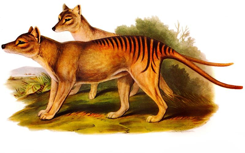 Illustration of two of the now extinct Australian carnivorous marsupial mammals - Credit: Alamy