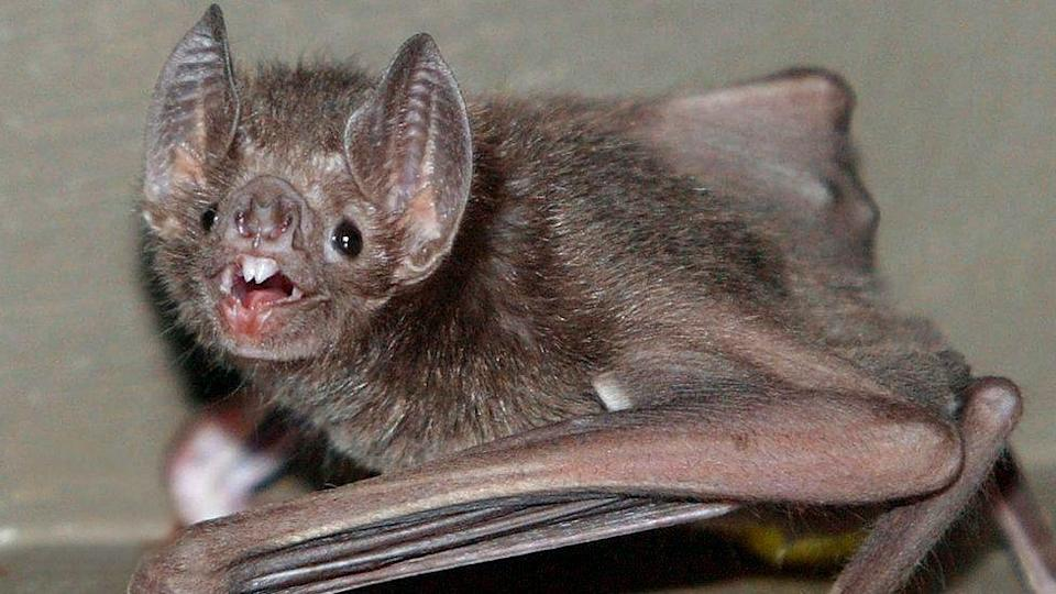 Vampire bats prefer to share bloodmeal with friends: Research