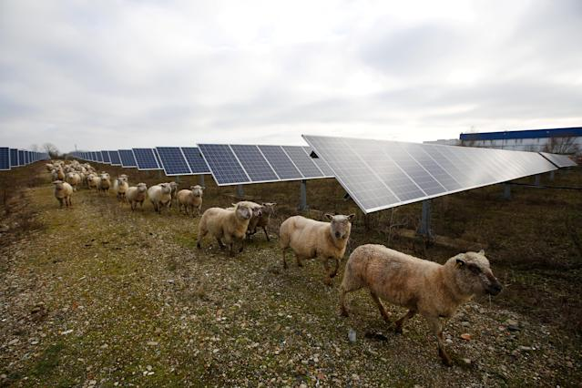 Sheep are herded at a photovoltaic power plant in Allonnes near Le Mans, France January 8, 2018. REUTERS/Stephane Mahe