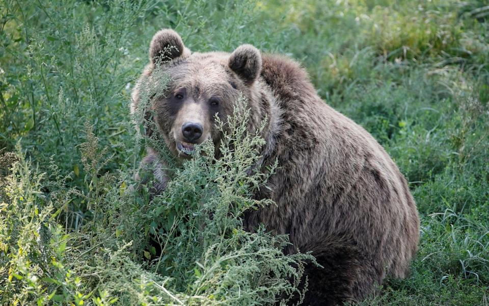 Bears aremunching on berries, which contain less protein and therefore take less energy to break down, causing them to gain weight more quickly. - REUTERS