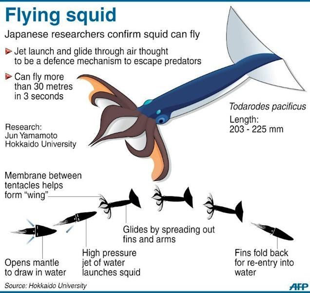 Graphic on a species of squid that can fly more than 30 metres through the air to escape predators