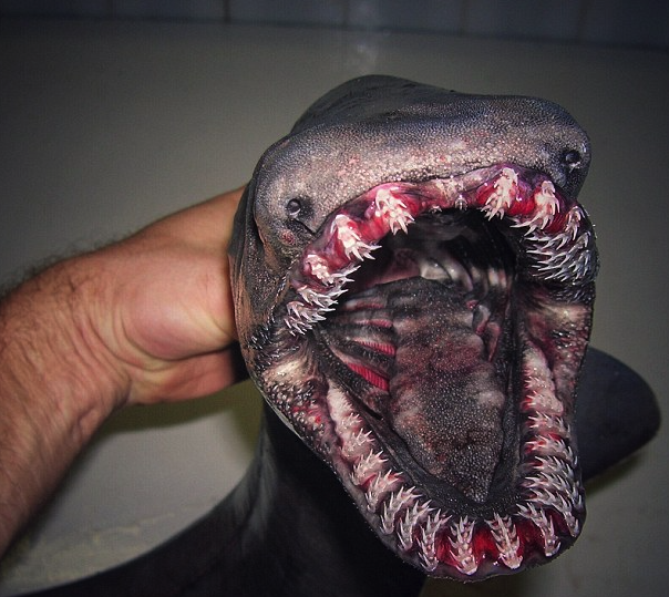 Open up, mate! This frilled-teeth shark is terrifying (Picture: Roman Fedortsov)
