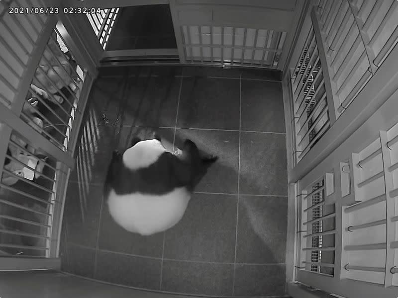 A image shows a giant panda Shin Shin gives a birth the second of her twin pandas at Ueno Zoological Park in Tokyo