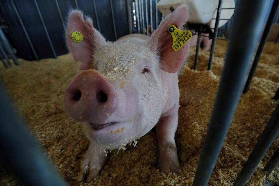 A show pig looks out from its enclosure in the Swine Barn at the Iowa State Fair in Des Moines, Iowa, U.S., August 8, 2019.    REUTERS/Brian Snyder