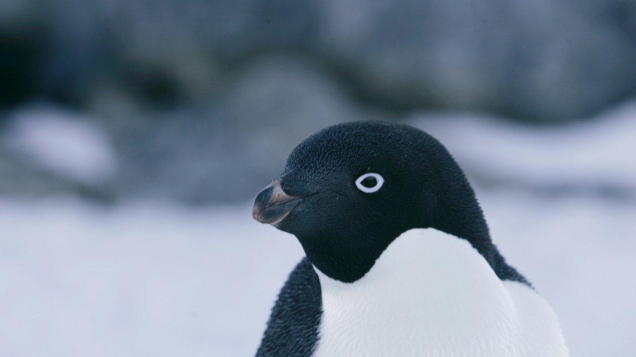 "This footage was captured by 26 Gentoo penguins living in Antarctica. Researchers from the Korean Polar Research Institute strapped tiny GoPro ""penguincams"" on the penguins, recording the bird's vocal behavior and communication for the first time."