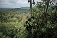 A female and a baby Grauer's gorilla, a subspecies of the Eastern gorilla, climb down a tree in Kahuzi-Biega National Park in northeastern Democratic Republic of Congo
