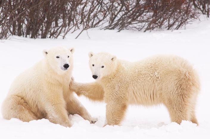 Polar Bears Playing, Churchill, Manitoba, Canada