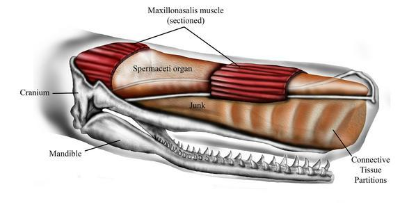 Schematic representation of sperm whale head structure.