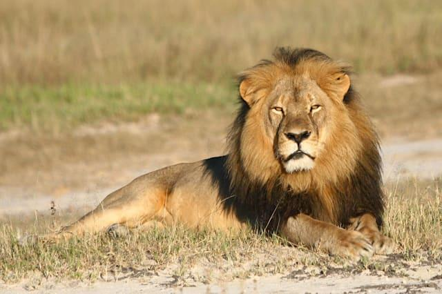 Zimbabwe suspends big game hunting after Cecil the lion's death