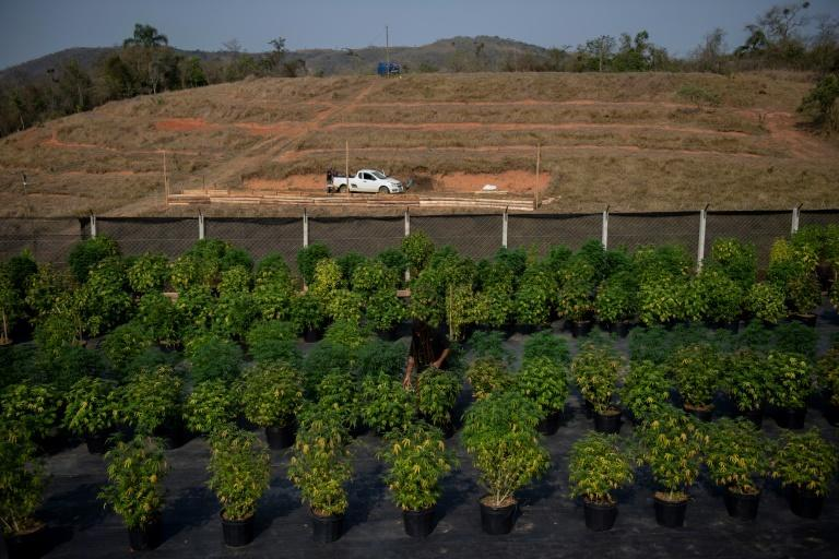 Cannabis plants are seen at the Apepi farm, which uses them to make therapeutic oil to help patients with seizures and other conditions (AFP/MAURO PIMENTEL)
