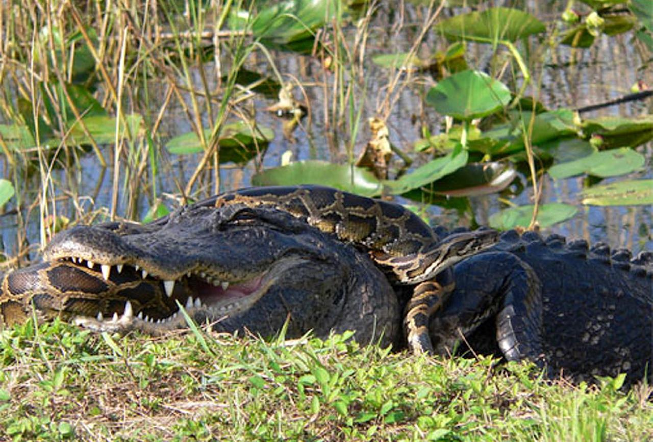 In this 2009 photo provided by the National Park Service, a Burmese python is wrapped around an American alligator in Everglades National Park, Fla. The National Academy of Science report released Monday, Jan. 30, 2012, indicates that the proliferation of pythons coincides with a sharp decrease of mammals in the park. (AP Photo/National Park Service, Lori Oberhofer)