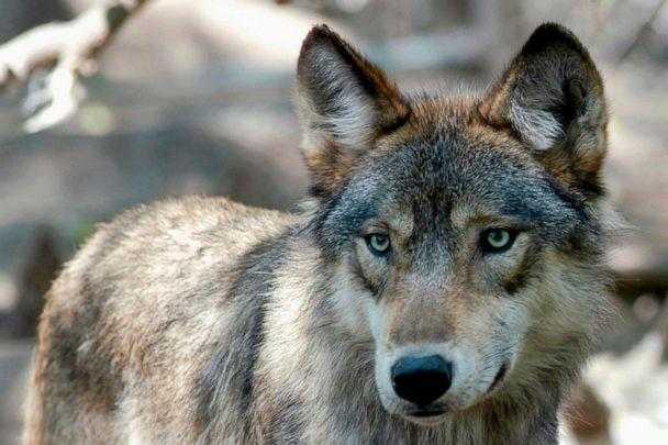 PHOTO: This July 16, 2004, file photo, shows a gray wolf at the Wildlife Science Center in Forest Lake, Minn. Wildlife activists want Colorado voters to decide if the endangered gray wolf should be reintroduced decades after it disappeared from the state. (Dawn Villella/AP, FILE)