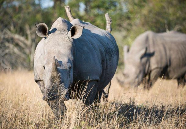 PHOTO: White rhinoceros or square-lipped rhinoceros in the Sabi Sands Game Reserve adjacent to the Kruger National Park in South Africa are the second largest land mammals in the world. ( Wolfgang Kaehler/LightRocket via Getty Images, FILE)