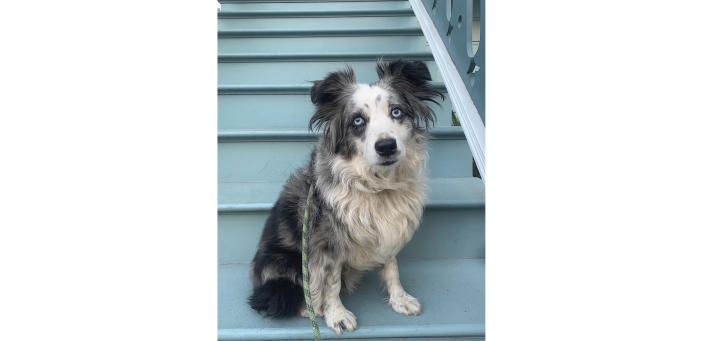 This undated photo provided by Emilie Talermo showing a blue-eyed miniature Australian Shepherd named Jackson, in San Francisco, Calif. The owner of the dog Emilie Talermo, is offering a $7,000 reward for her Shepherd that was stolen from outside a grocery store. She has hired a plane to fly a banner over the city. Talermo said Thursday, Dec. 19, 2019, she has been doing everything she can to find her dog, since it was stolen Saturday, Dec. 14, 2019, outside a grocery store in the Bernal Heights neighborhood. (Emilie Talermo via AP)