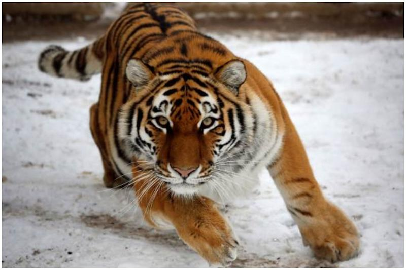 Tigers Maul Tamer to Death in Italy, Parliament Mulls Ban on Animals from Circuses