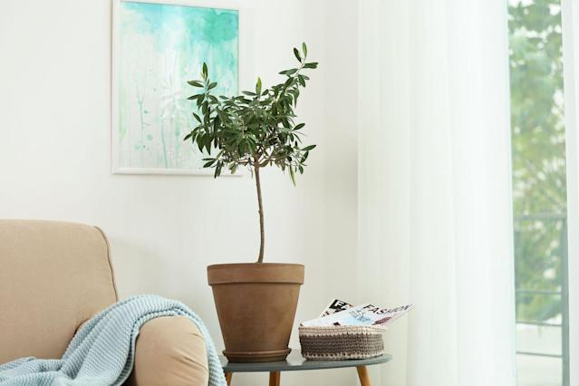 "<p>Plant parents love trendy olive trees for their sophisticated flair, but keeping them alive doesn't come easy. They do best when placed near a south-facing window with loads of sun, and they thrive with soil that drains easily. </p><p><a class=""link rapid-noclick-resp"" href=""https://go.redirectingat.com?id=74968X1596630&url=https%3A%2F%2Fwww.shopterrain.com%2Fproducts%2Farbequina-olive-tree&sref=https%3A%2F%2Fwww.goodhousekeeping.com%2Fhome%2Fgardening%2Fg32490113%2Fbest-aesthetic-plants%2F"" rel=""nofollow noopener"" target=""_blank"" data-ylk=""slk:SHOP NOW"">SHOP NOW</a></p>"