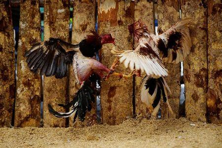 Roosters fight at a cockfighting arena in Moron, central region of Ciego de Avila province, Cuba, February 16, 2017. REUTERS/Alexandre Meneghini