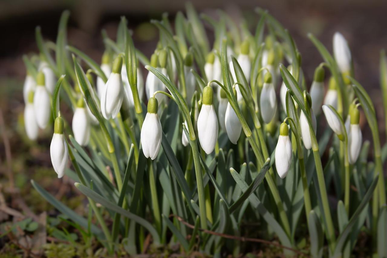 """<p><a class=""""body-btn-link"""" href=""""https://www.amazon.com/Aland-Snowdrop-Galanthus-Growing-Gardening/dp/B07GQSRTMQ/?tag=syn-yahoo-20&ascsubtag=%5Bartid%7C10057.g.2854%5Bsrc%7Cyahoo-us"""" target=""""_blank"""">BUY NOW</a> <strong>Snowdrop Seeds, <em>$1.99, amazon.com</em></strong></p><p>Snowdrops, with their beautiful, droplet-like, downturned white petals, first appear in early November, and according to <a href=""""https://www.proflowers.com/blog/beautiful-flowers-that-bloom-in-winter"""" target=""""_blank"""">ProFlowers</a>, while they typically last until just after Christmas, they can thrive all the way through February. </p>"""