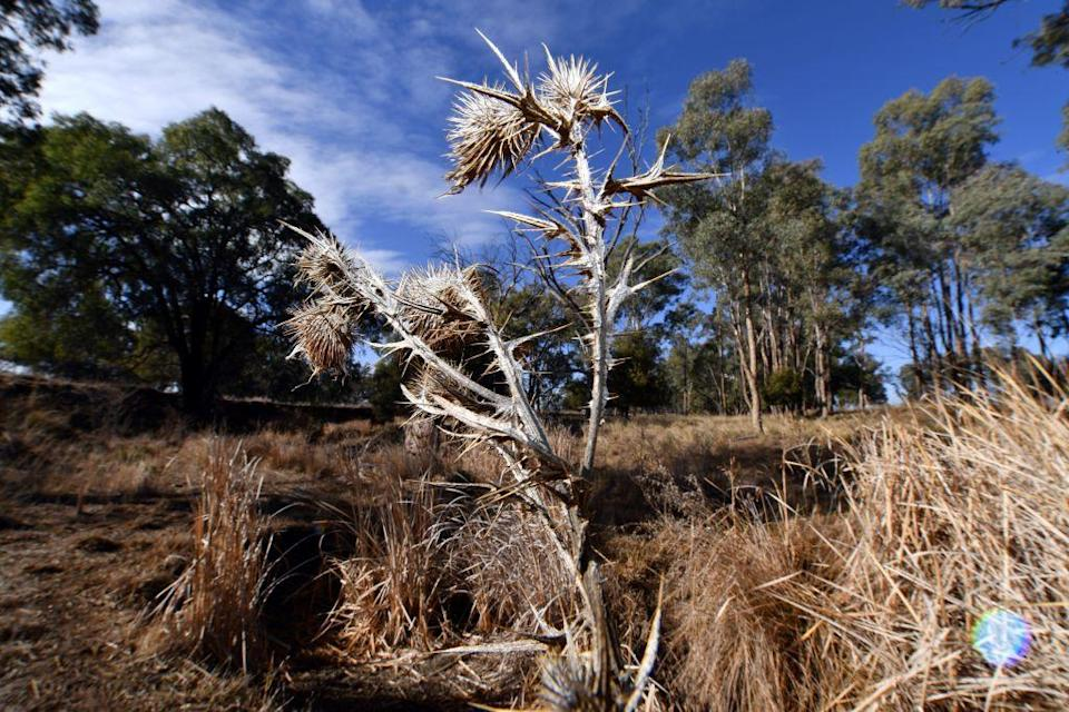 <p>The conditions mean kangaroos have been competing with livestock for sparse pasture during the intensely dry spell. [Picture: Getty] </p>