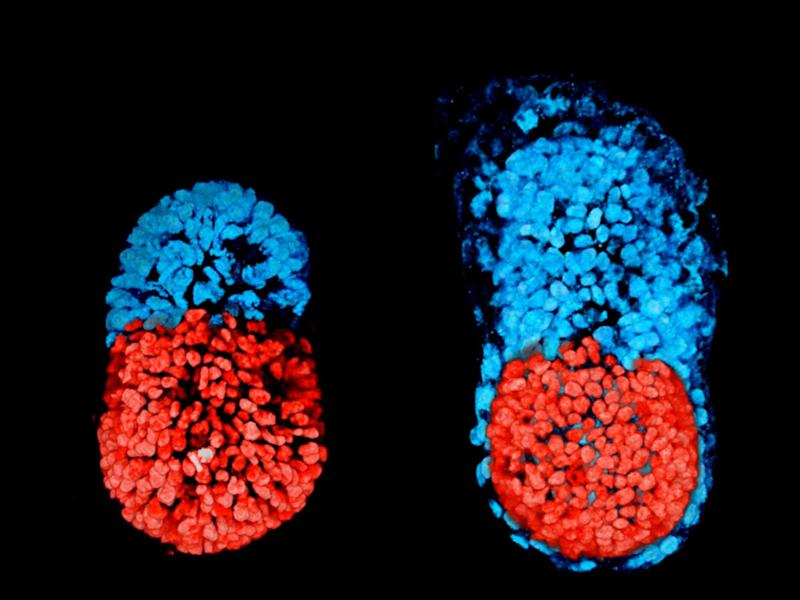 An artificially created three-dimensional model of a mouse embryo at 96 hours, left, and then an embryo cultured in a test tube for 48 hours from the blastocyst stage, right. The red colour denotes the embryo-like structure while the blue shows extra-embryonic material that would form the placenta: Sarah Harrison and Gaelle Recher, Zernicka-Goetz Lab, University of Cambridge