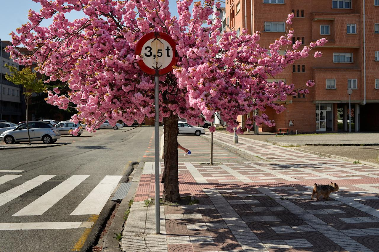 A woman walks her dog alongside a tree in blossom in Pamplona, April 20, 2018. REUTERS/Vincent West