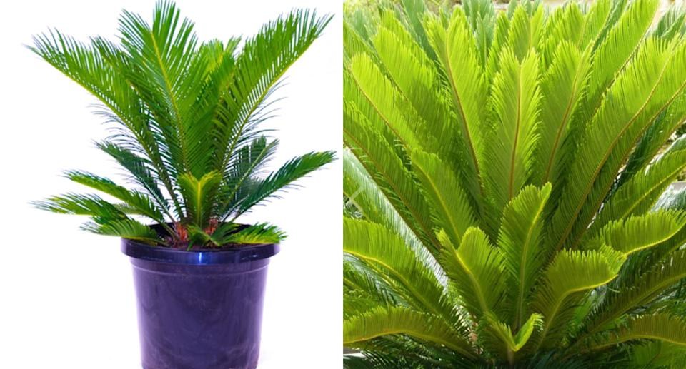 Photo of sago palms available from Australian retailers including Bunnings (left) and Flower Power (right).