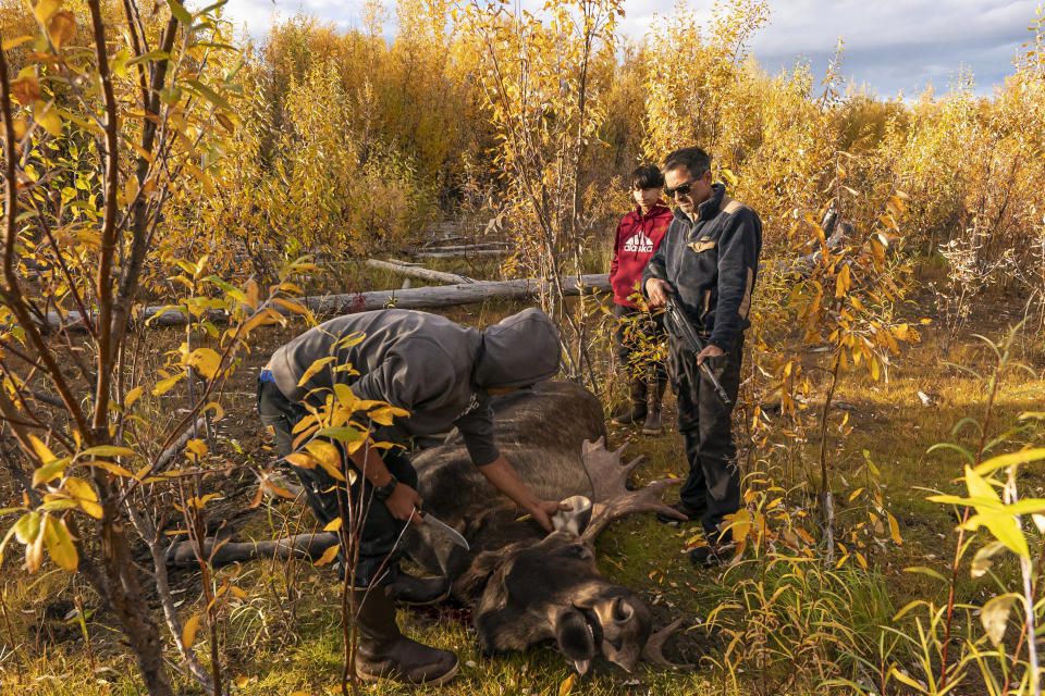 Bernard Ishnook, from left, Steven Guinness Jr., 14, and Ben Stevens discuss how to pack out a two-year-old moose killed by the Stevens' family hunting party on Tuesday, Sept. 14, 2021, near Stevens Village, Alaska. For the first time in memory, both king and chum salmon have dwindled to almost nothing and the state has banned salmon fishing on the Yukon. The remote communities that dot the river and live off its bounty are desperate and doubling down on moose and caribou hunts in the waning days of fall. (AP Photo/Nathan Howard)