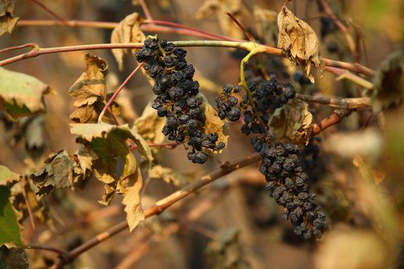 Wine grapes are destroyed by the Tubbs Fire on October 11, 2017 in Kenwood, California.