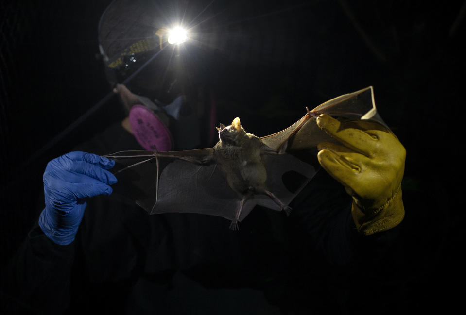 A researcher for Brazil's state-run Fiocruz Institute holds a bat captured in the Atlantic Forest, at Pedra Branca state park, near Rio de Janeiro, Tuesday, Nov. 17, 2020. Researchers at the institute collect and study viruses present in wild animals — including bats, which many scientists believe were linked to the outbreak of COVID-19. (AP Photo/Silvia Izquierdo)