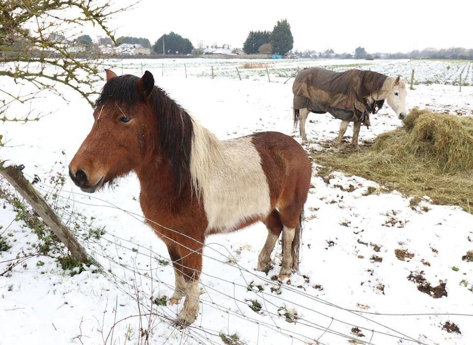 <p>Horses waking up to a snow-covered field in Bedfordshire. </p>