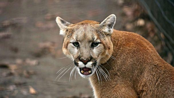 PHOTO: This undated stock image of a cougar, also known by other names including catamount, mountain lion, panther and puma is American native animal. Authorities are looking for the one that attacked a girl in a California park on Sunday, Feb. 16, 2020. (Karel Bock/STOCK PHOTO/Karel Bock/Shutterstock)