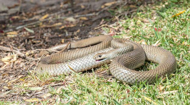 The best course of action for those who know they are bitten by an eastern brown snake is to, call Triple-0 and compress the area. Photo: Getty