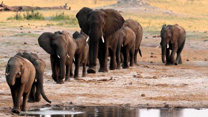 A number of elephants have been found dead in Zimbabwe in recent weeks (file photo)