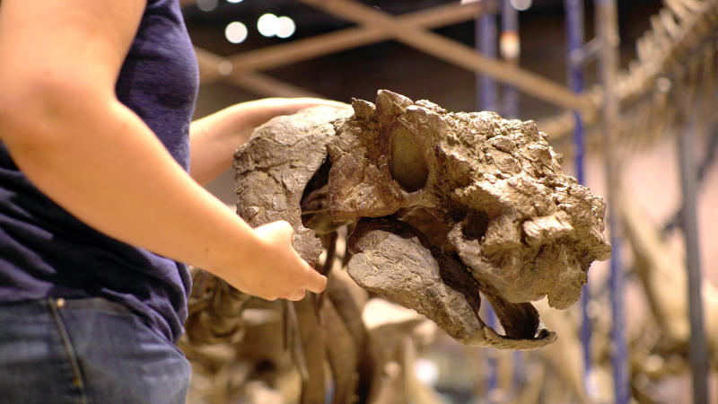 History Museum of Utah shows the heavily ornamented skull of an ankylosaur a squat plant-eater that was covered in bony armor from its spiky head to its clubbed tail before its unveiling at the museum in Salt Lake Cit