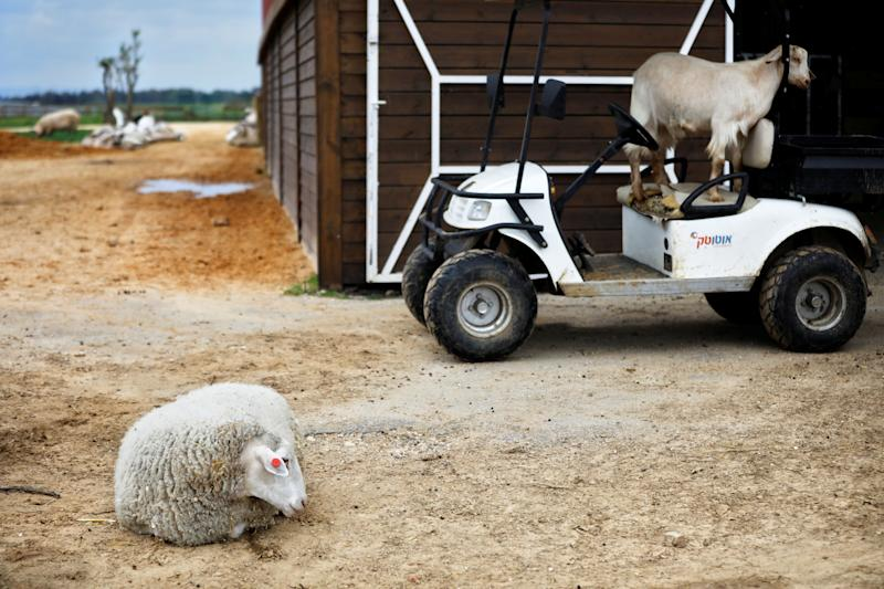 """A sheep and a goat are seen at """"Freedom Farm"""", which serves as a refuge for mostly disabled animals in Moshav Olesh, Israel. (Photo: Nir Elias/Reuters)"""