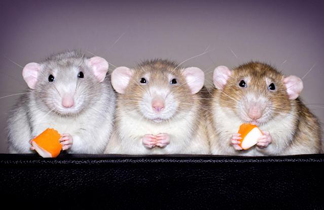 <p>The photographer believes that the negative impressions of rats stem from their wild siblings; Diane, however, focuses purely on domestic rats. (Diane Ozdamar/Caters News) </p>