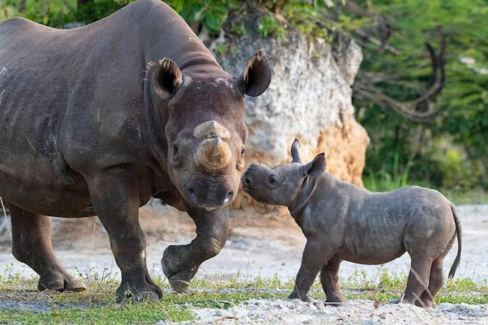 Baby bonds with his Mom, Circe, an endangered black rhinoceros, at Zoo Miami. The calf was born Feb. 24, 2021.