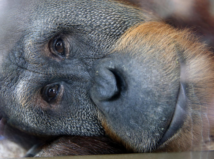 <p>Rocky, one of the orangutans in the Indianapolis Zoo's International Orangutan Center, looks out from one of the center's enclosures in Indianapolis, May 6, 2016. (AP Photo/Michael Conroy) </p>
