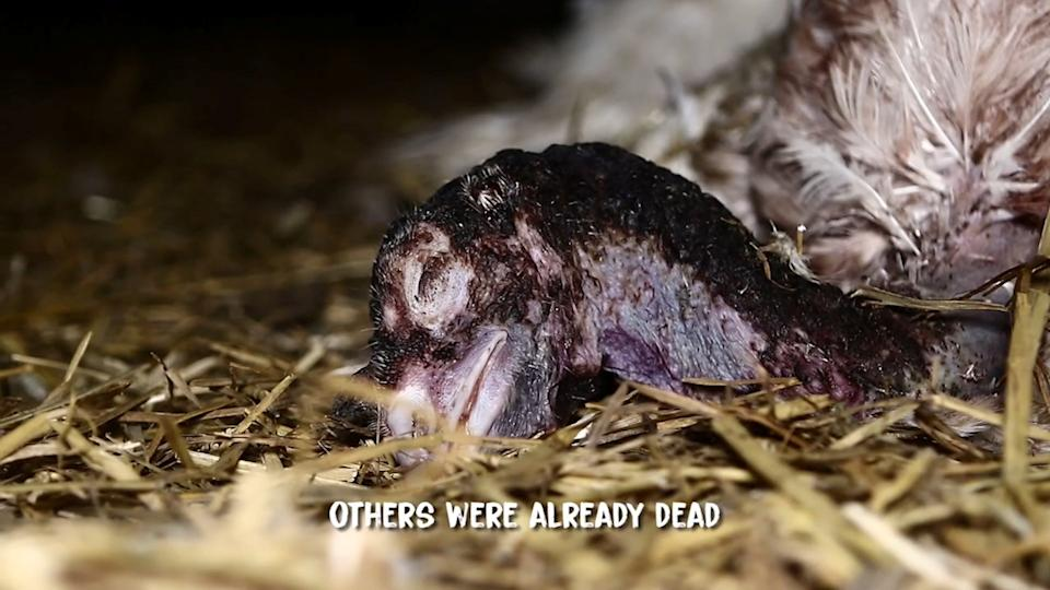 Other turkeys were left in the pen after dying a slow and painful death. (SWNS)