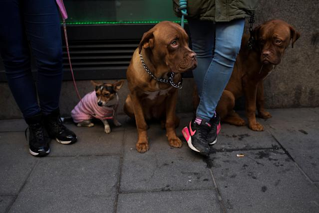 <p>Dogs stand on the street after being blessed by a priest outside San Anton Church in Madrid, Spain, Jan. 17, 2018. (Photo: Susana Vera/Reuters) </p>