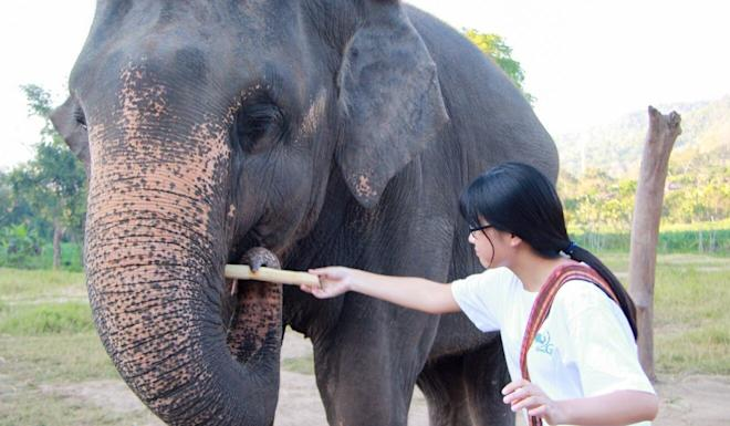 Zancy Duan cares for an elephant while volunteering in Thailand. Photo: Handout