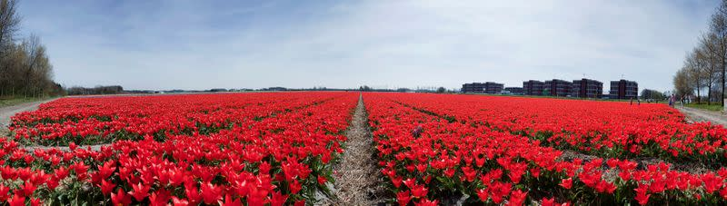FILE PHOTO: A Dutch tulip field is seen in this stitched photo, consisting of nine separate photos taken in sequence, in Noordwijk
